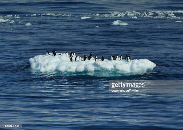 adélie penguins (pygoscelis adeliae) gathered on an ice floe, near davis station, southern ocean, antarctica - oceano antartico foto e immagini stock