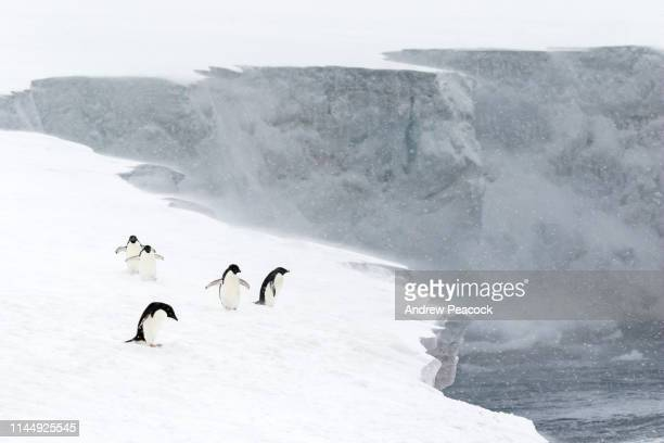 adélie penguins on the edge of a snow slope - 7894 stock pictures, royalty-free photos & images