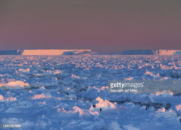adélie penguins (pygoscelis adeliae) traverse sea ice at sunset with pink tabular icebergs in the distance, southern ocean, antarctica - pack ice stock pictures, royalty-free photos & images