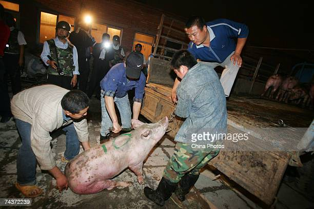 Administration officials load a pig captured from an illegal slaughterhouse into a truck during a crackdown event in the Chaoyang District on June 1...