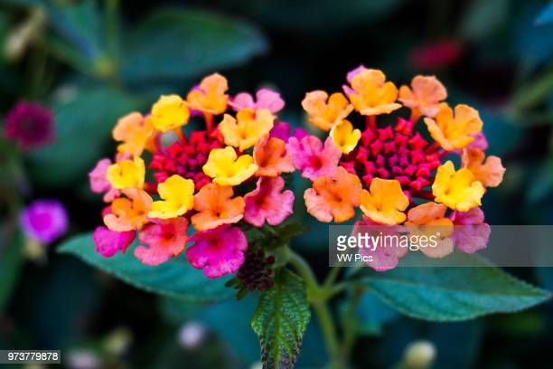 Admiring the Lantana flower up close