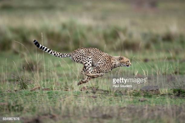 adolescent cheetah cub running in masai mara national reserve - cheetah stock pictures, royalty-free photos & images