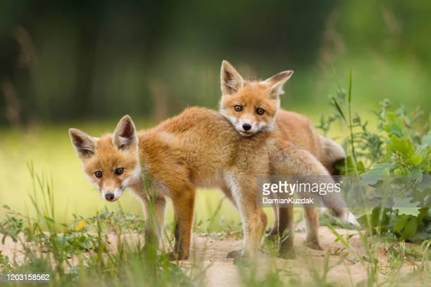 filhotes de raposa bebê adoráveis brincando - filhote de animal - fotografias e filmes do acervo