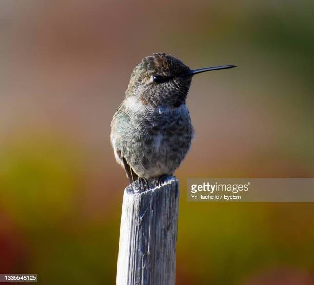 adorable baby girl hummingbird perched on tiny stick in garden - anna's hummingbird stock pictures, royalty-free photos & images