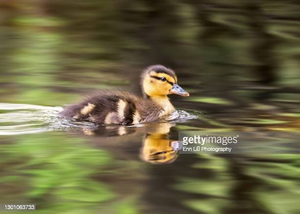 adorable baby mallard duckling in water - duckling stock pictures, royalty-free photos & images