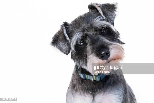 adorable black dog - schnauzer stock pictures, royalty-free photos & images