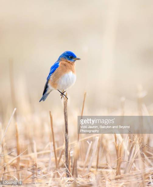 adorable bluebird perched on reed - warbler stock pictures, royalty-free photos & images