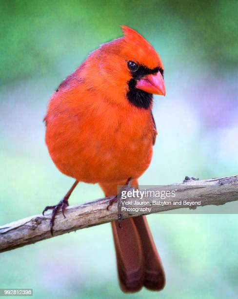 adorable close up of northern cardinal looking at camera - cardinal bird stock photos and pictures