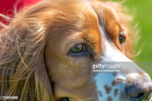 Adorable cocker spaniel dog, a close up of the animal's head.