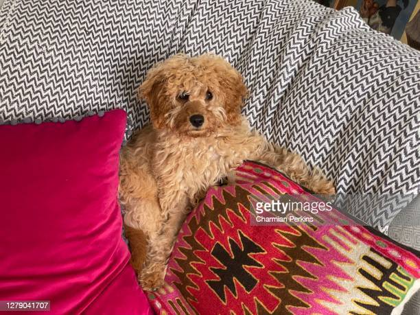 adorable fluffy cavapoo puppy lying on sofa and cushions in stylish london family home during lockdown in august 2020 - london breed stock pictures, royalty-free photos & images