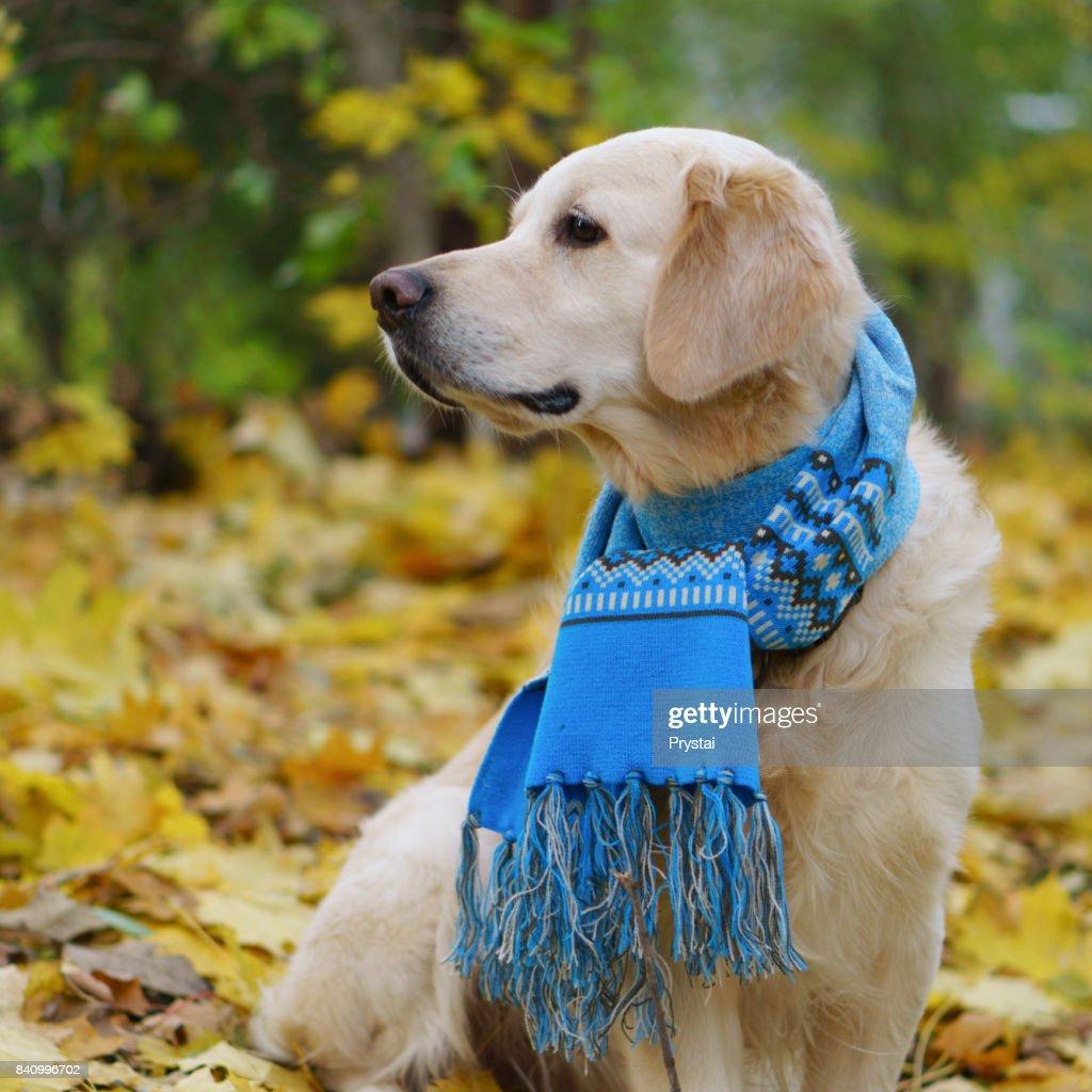 Entzuckende Golden Retriever Hund Tragt Ausgefallene Wollschal Auf
