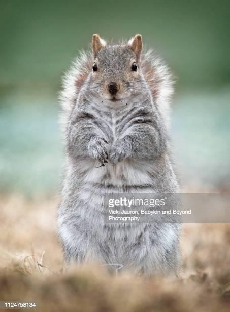 adorable gray squirrel posing cutely in babylon, long island - gray squirrel stock-fotos und bilder