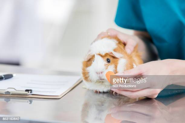 adorable guinea pig is offered a snack at the vet - exotic pets stock pictures, royalty-free photos & images