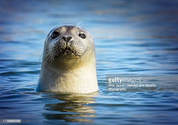 adorable harbor seal looking at camera at robert moses state park, long island - seal stock pictures, royalty-free photos & images