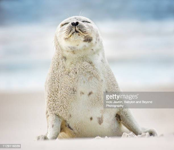 adorable harp seal breathing in the salt air at jones beach, long island - seal stock pictures, royalty-free photos & images