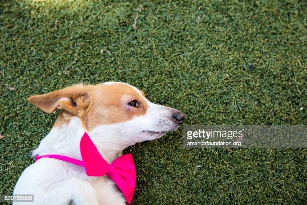 Adorable Jack Russell-Dachshund Mix with a Pink Bow Tie - The Amanda Collection
