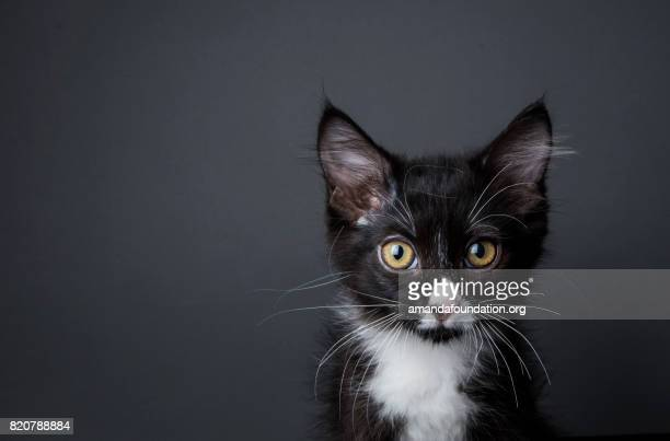 adorable kitten - the amanda collection - amandafoundationcollection stock pictures, royalty-free photos & images