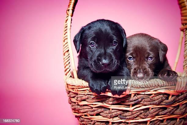 Adorable Labrador Puppies on Pink