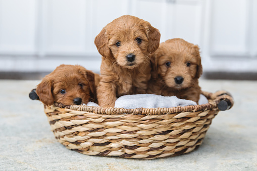 Adorable litter of Goldendoodle puppies in a basket 1148221339