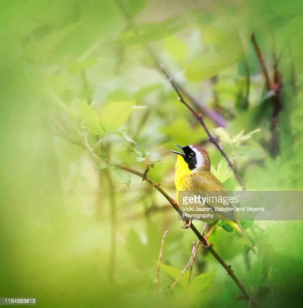 adorable little common yellowthroat bird surrounded in green - linda rama fotografías e imágenes de stock