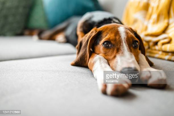adorable mixed breed dog relaxing on sofa - hunting dog stock pictures, royalty-free photos & images