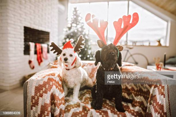adorable pets dressed as reindeer - christmas dog stock pictures, royalty-free photos & images