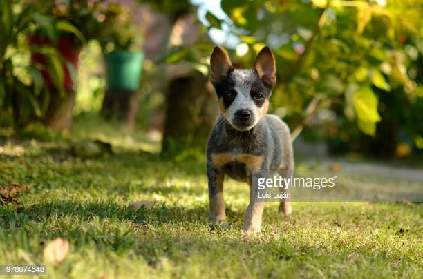 adorable - australian cattle dog stock pictures, royalty-free photos & images