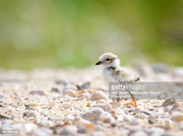 adorable piping plover chick against the rocks at caumsett state park on long island - huntington suffolk county new york state stock pictures, royalty-free photos & images