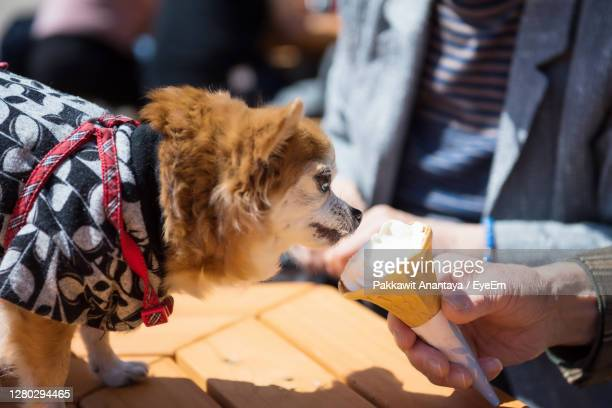 adorable pomeranian puppy dog in traditional yukata dress smell and eat softcream ice cream - japanese spitz stock pictures, royalty-free photos & images