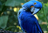 Adorable pose of vivid blue Hyacinth Macaw with blurry green forest in background