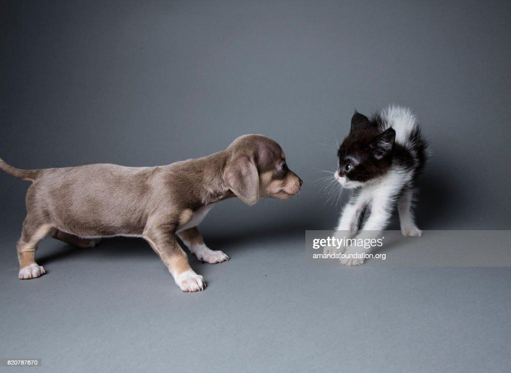 Adorable Puppy Scaring a Kitten - The Amanda Collection : Stock Photo