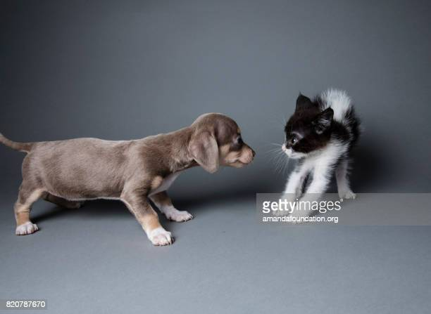 adorable puppy scaring a kitten - the amanda collection - cat and dog stock pictures, royalty-free photos & images