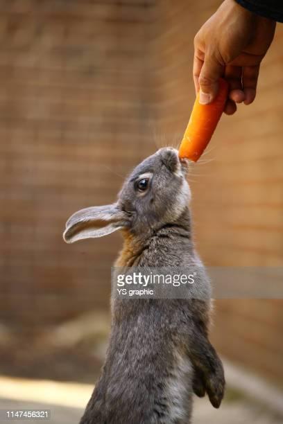 Adorable rabbit. Okunoshima Island in Hiroshima Prefecture in Japan is famous as Rabbit Island.