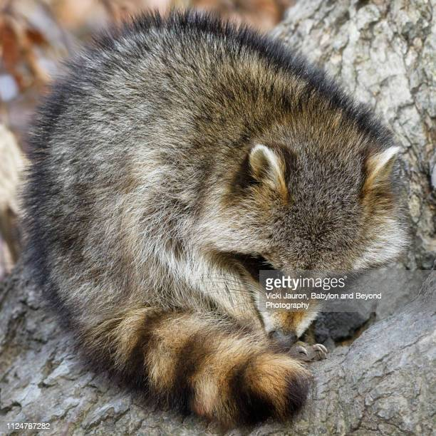adorable raccoon curled in a ball at caumsett state park, long island - huntington suffolk county new york state stock pictures, royalty-free photos & images