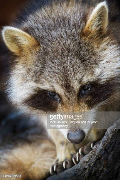 adorable raccoon head and paws at caumsett state park, long island - huntington suffolk county new york state stock pictures, royalty-free photos & images