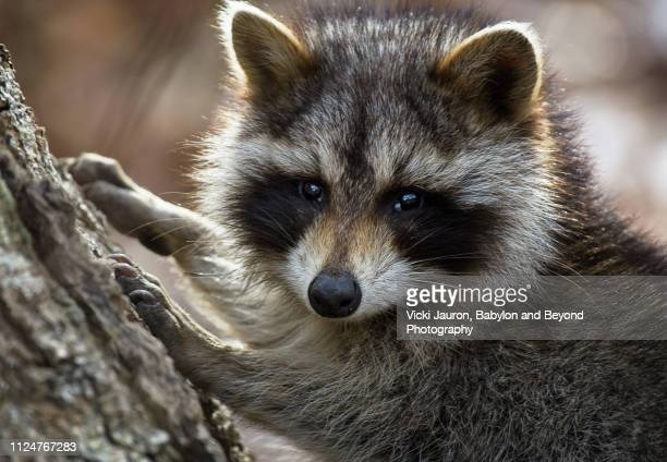 adorable raccoon posing for camera at caumsett state park, long island - huntington suffolk county new york state stock pictures, royalty-free photos & images
