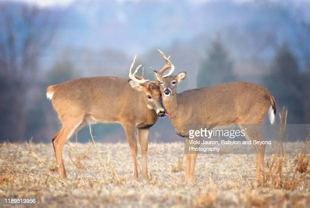 adorable scene of love in nature with buck doe licking female - begattung kopulation paarung stock-fotos und bilder