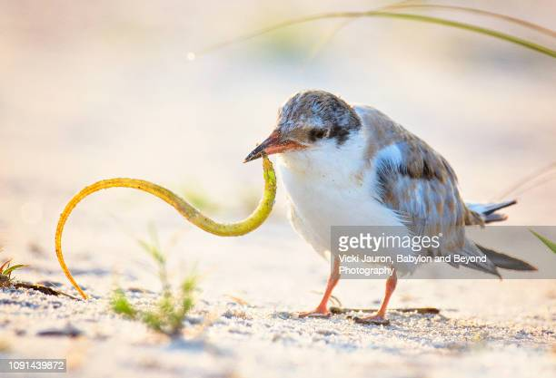 adorable scene with common tern chick trying to eat needlefish at nickerson, long island - aguja imperial fotografías e imágenes de stock
