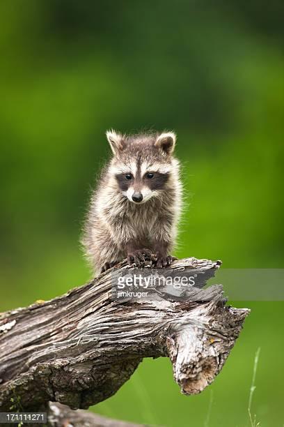 Adorable shy baby raccoon on a log.