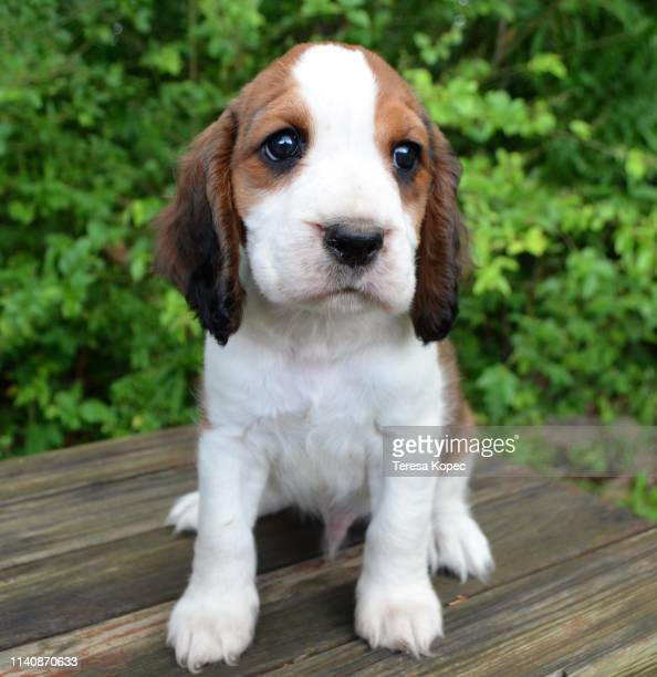 adorable springer spaniel puppy - springer spaniel stock pictures, royalty-free photos & images