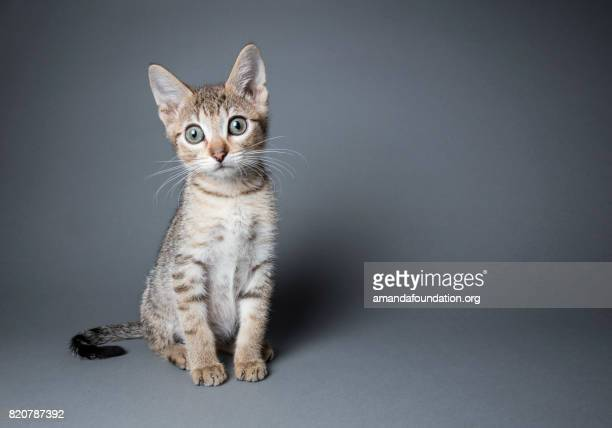 adorable tabby kitten - the amanda collection - amandafoundationcollection stock pictures, royalty-free photos & images