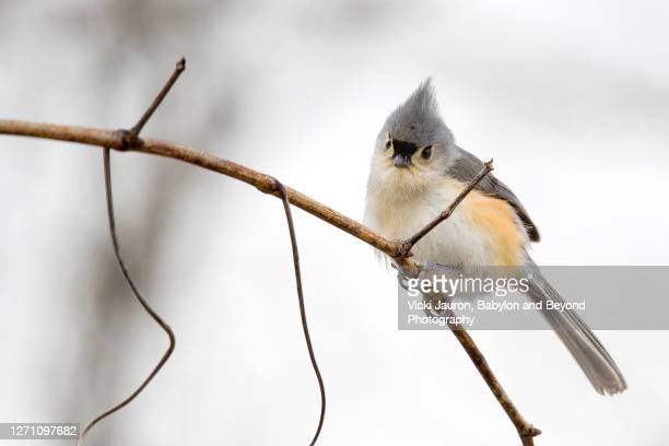 adorable tufted titmouse bird looking boldly at camera - songbird stock pictures, royalty-free photos & images