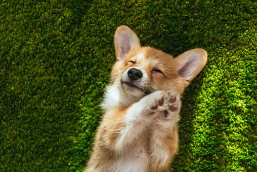 adorable welsh corgi pembroke on green lawn at home 1077145200