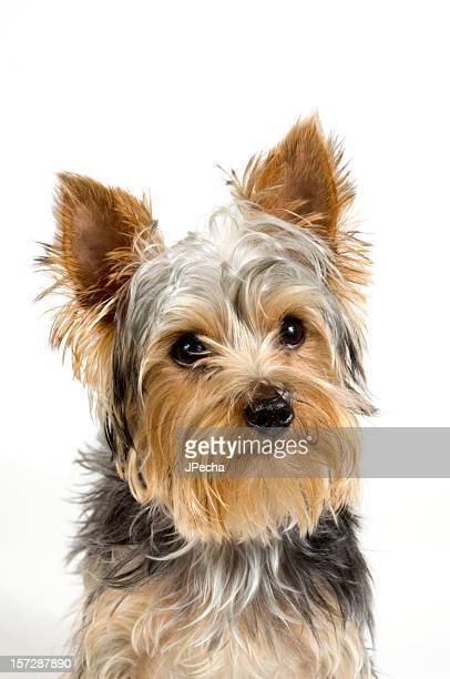 Adorable Young Yorkshire Terrier Dog Close Up White Background
