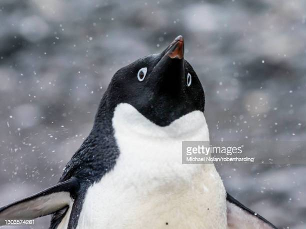 adult adelie penguin (pygoscelis adeliae), coronation island, south orkney islands, antarctica, polar regions - south orkney island stock pictures, royalty-free photos & images