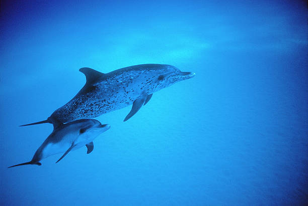 Adult and baby Atlantic Spotted Dolphins (Stenella frontalis)