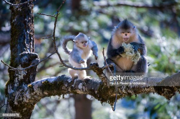 adult and baby black snub-nosed monkeys (yunnan snub-nosed monkey),(rhinopithecus bieti) - yunnan snub nosed monkey stock pictures, royalty-free photos & images