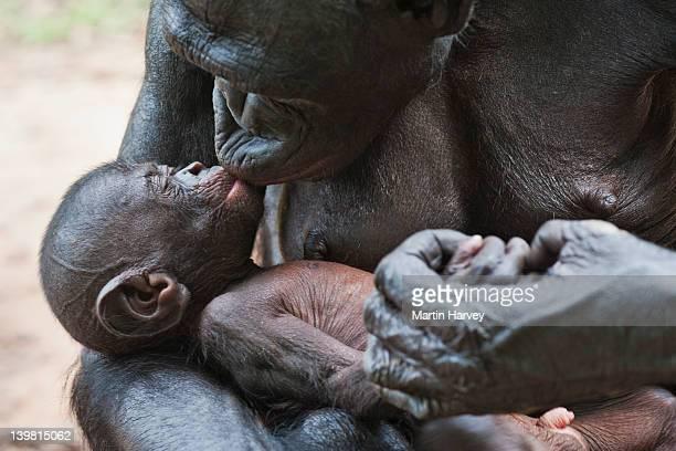 adult and baby bonobo (pan paniscus) sanctuary lola ya bonobo chimpanzee, democratic republic of the congo - lola reve photos et images de collection