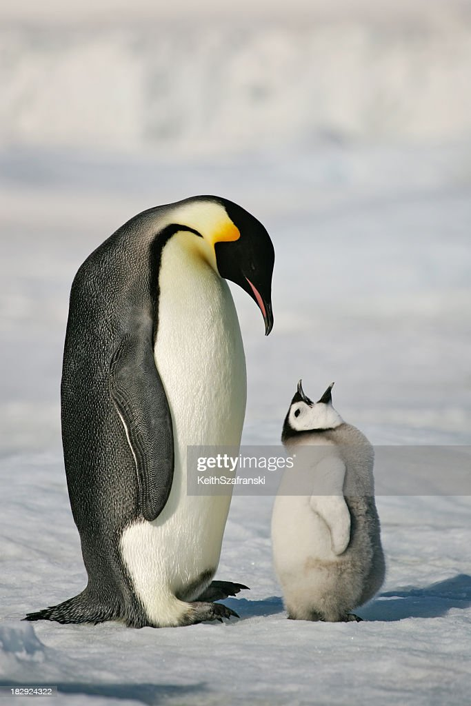 Adult and baby penguin in the snow : Stock Photo