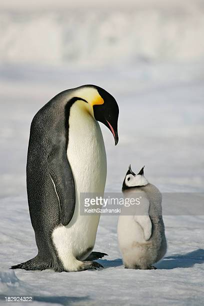 adult and baby penguin in the snow - pinguïn stockfoto's en -beelden